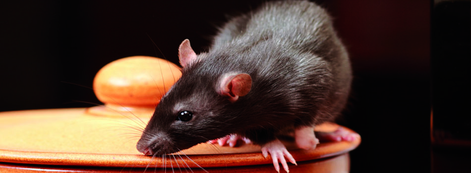 Rat control from Stratford Pest Control